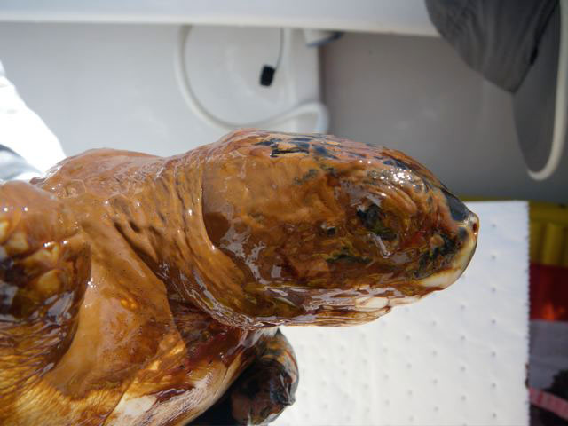 Sea turtle covered with oil from the BP Gulf spill (cc photo: NOAA)