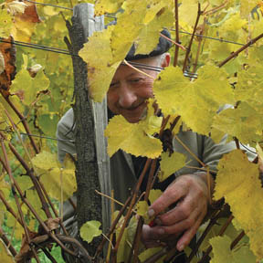 Worker in French vineyard (cc photo: Bruce Hammersley)