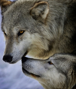 Grey wolves (cc photo: Jeremy Weber)
